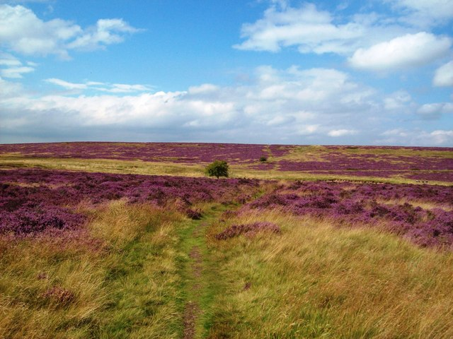 Heather in Flower on Longstone Moor