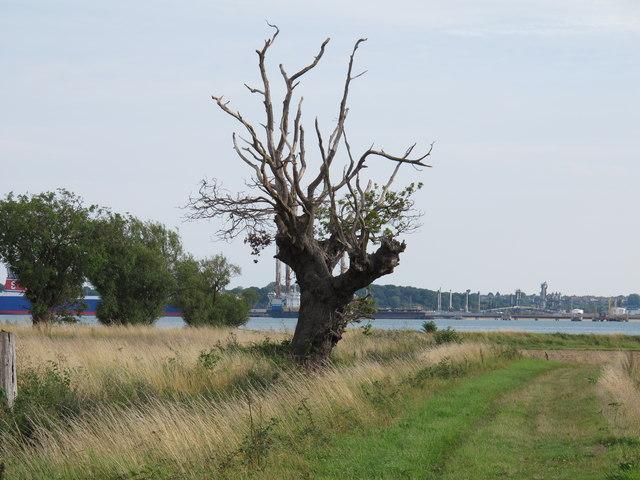 Dead tree on footpath