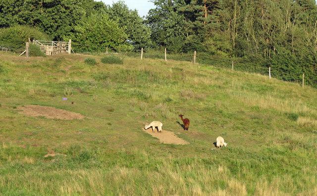 Field with alpacas