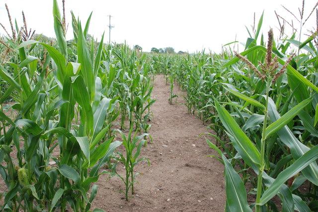 Field of Maize near High Onn Wood