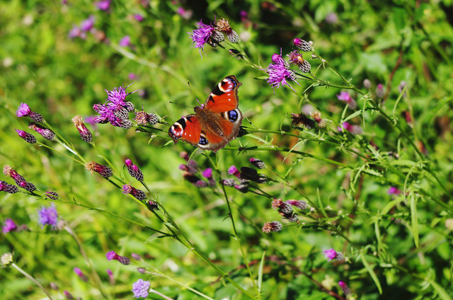 Peacock butterfly in Trench Wood, near Sale Green