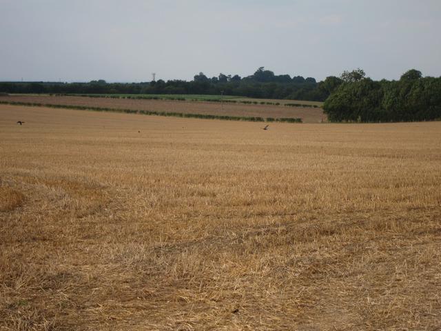 Wheat field by Eastling Road