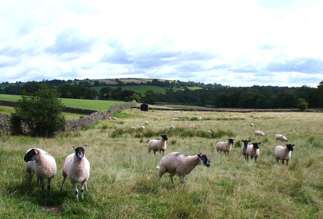 Sheep at Low Hirst Farm