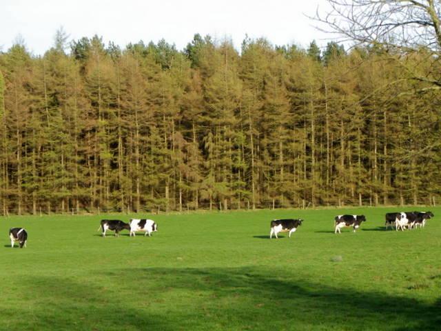 Grazing cattle near Eavestone