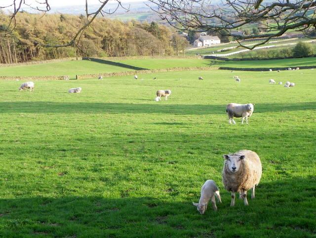 Ewes and lambs near Warsill
