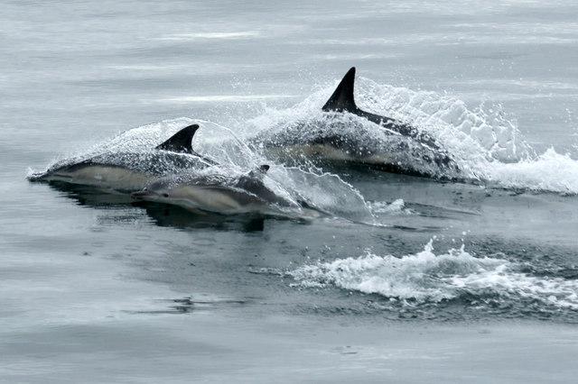 Common Dolphins (Delphinus delphinus), off Rubha Bhocaig