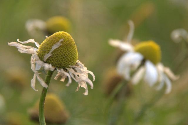 Sea Mayweed (Tripleurospermum maritimum), Haroldswick