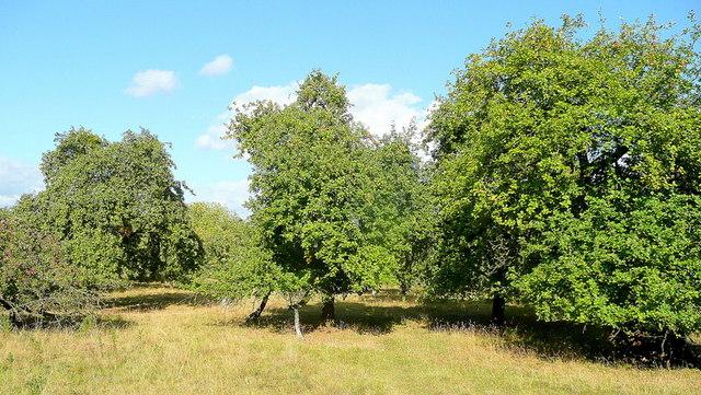 Old cider orchard