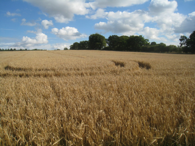 Wheat field - Nurshanger Farm