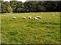 SU8712 : Sheep in field at Singleton by Paul Gillett