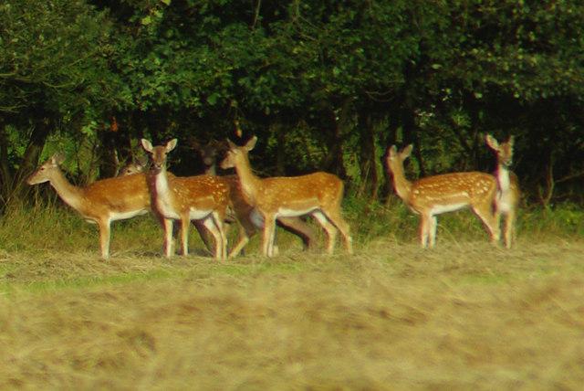Fallow Deer, Writtle Forest