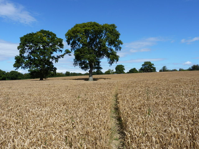 Twin oak trees and a footpath