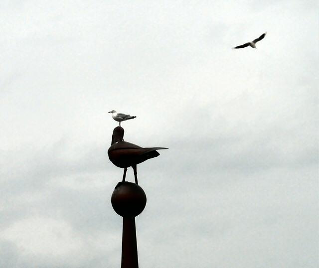 Gull over gull on gull