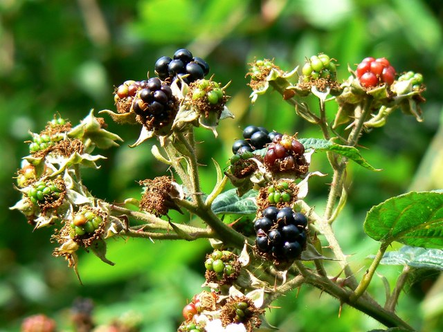 Blackberries, Rigsby's Lane, Minety
