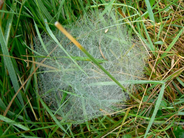 Cobwebs in the grass, Rigsby's Lane, near Minety (1 of 2)