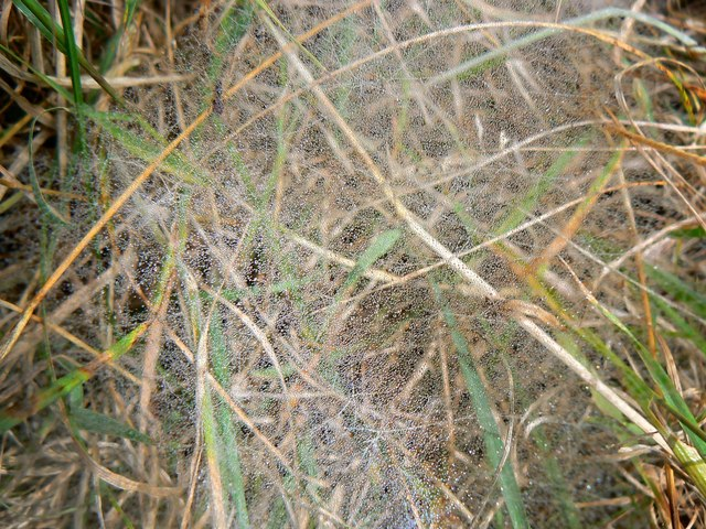 Cobwebs in the grass, Rigsby's Lane, near Minety (2 of 2)