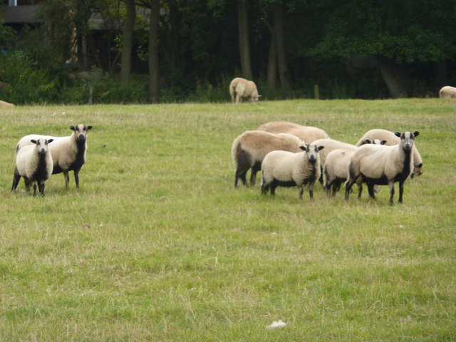Flock of sheep near Nether Sturston