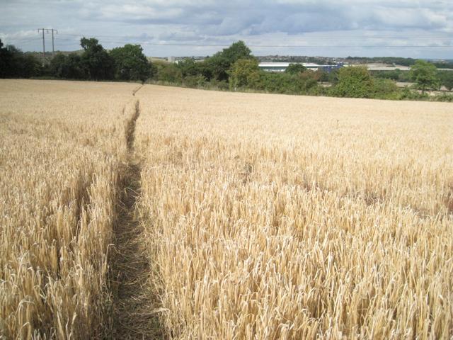 Footpath through barley, east of Wood End