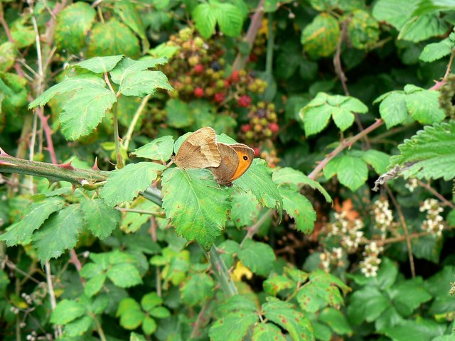 Butterflies and brambles, Rigsby's Lane, Minety