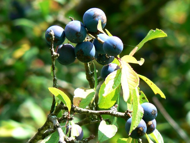 Sloes by a footpath, Minety