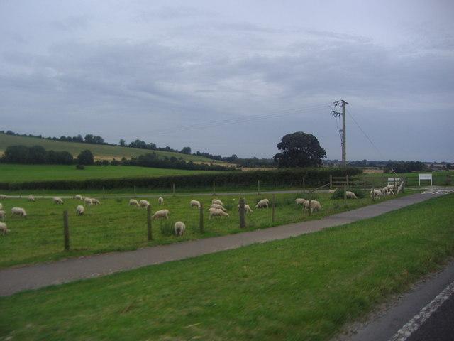 Sheep grazing, West Dean