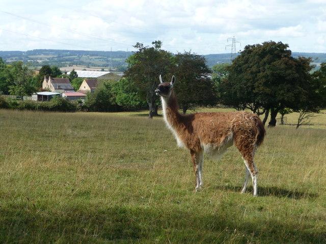 Alpaca or Llama??