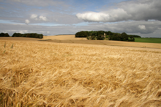 A field of ripening barley