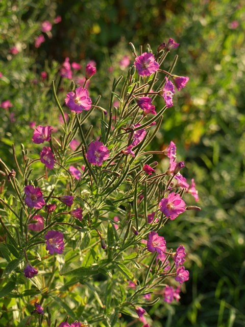 Great Willowherb near Cheddar