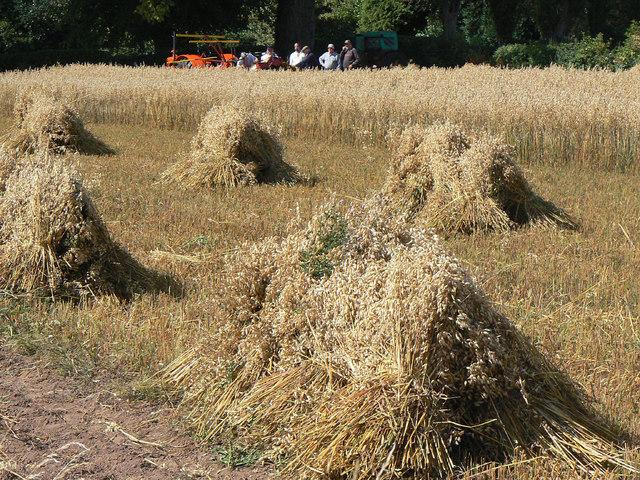 Old fashioned harvest