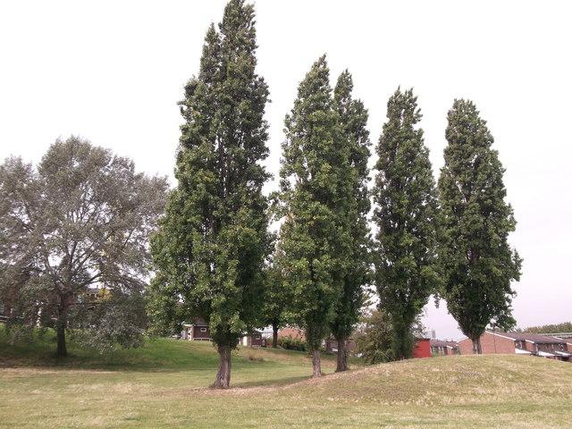 Four Poplars and Silver Birch tree