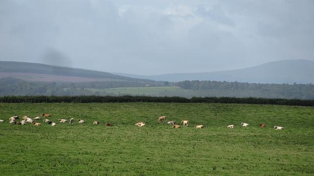 Cattle, Green Hill