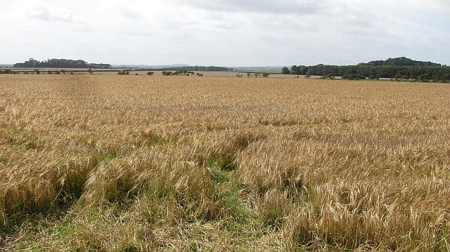 Barley field, Ingham Lane