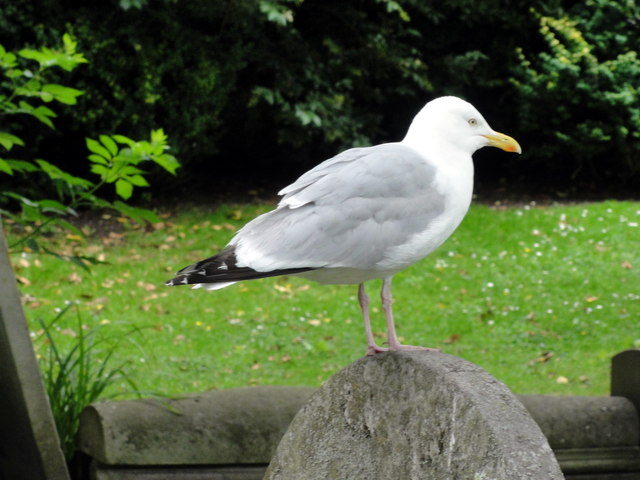 Herring gull at Folkestone