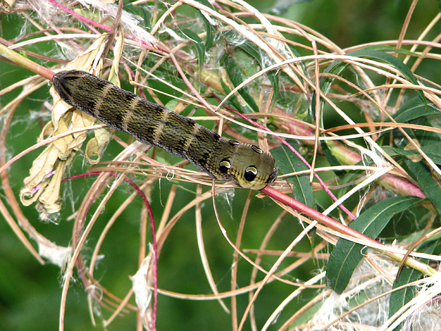 Elephant Hawk moth (Deilephila elpenor) larva