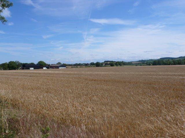 Wheatfield at Oxstalls Farm