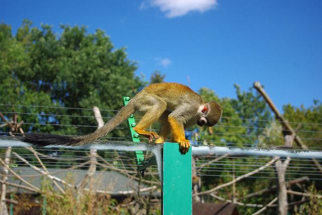 Common squirrel monkey (Saimiri sciureus) at Birmingham Nature Centre