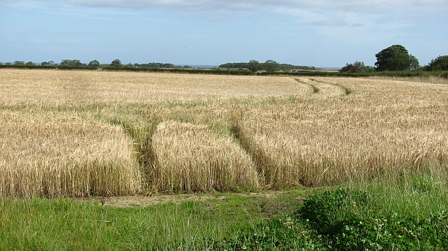 A field of barley on Embledon Moor