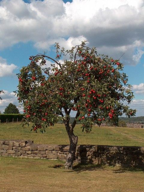 Apple tree on Elliott Lane near Barnes Hall