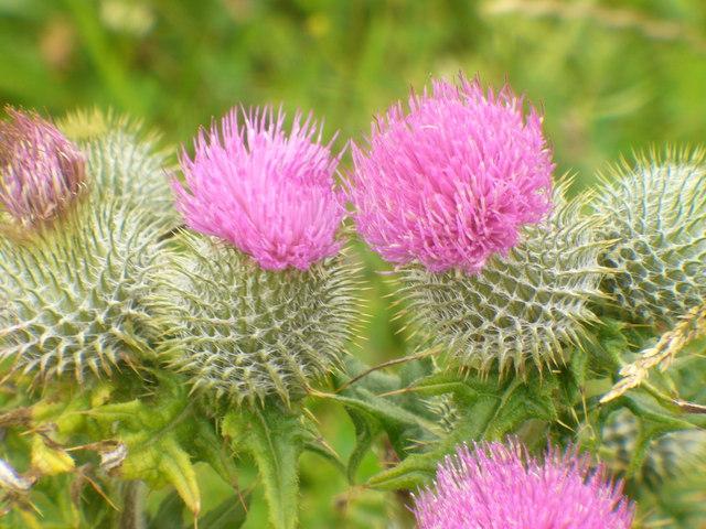 Thistles by Loch Ardvule