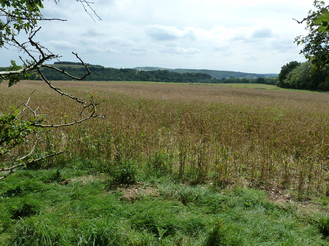 Wheat field on the edge of Singleton Forest