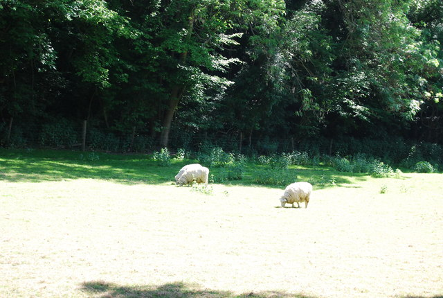 Sheep, Long Bottom Wood