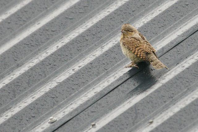 Wryneck (Jynx torquilla) on a wet tin roof, Skaw