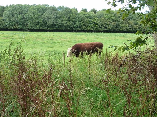 Bull in field bordering Singleton forest