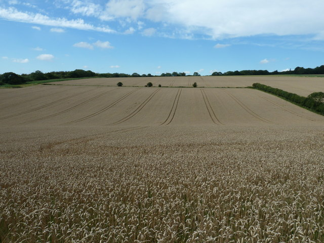 Harvest ready wheat field north of Lady Wood