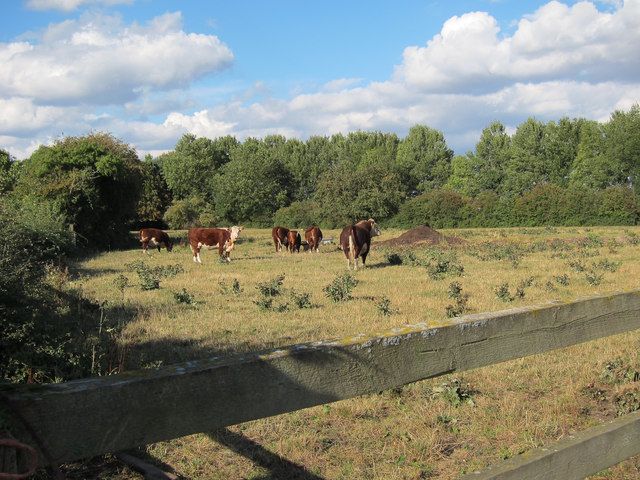 Cattle off Long Lane