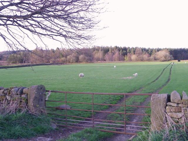 Ewes and lambs near Sawley