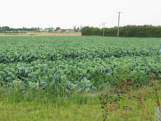 A field of brassicas at Stone Cross, Sandwich