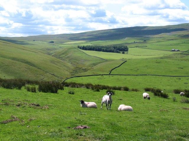 Sheep on the fellside