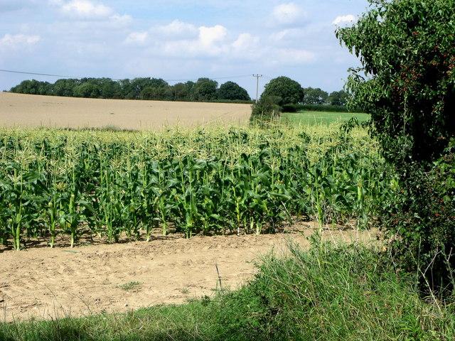 Maize in field off Norlington Lane, Ringmer