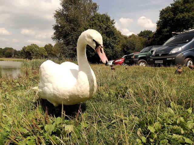 Friendly swan by Piltdown Pond, East Sussex